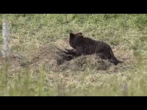 Grizzly bear and 2 cubs eating a bison carcass - Yellowstone