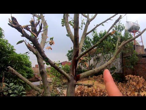 Vì Sao Mít Không Ra Quả - Cách Sử Lý Để Mít Ra Sai Quả Vụ Sau - Nhà Nông Làm Vườn