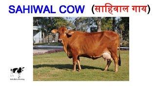 Dairy Farming : Why Sahiwal is Best Cow Breed - क्यों साहिवाल नस्ल को माना गया है उत्तम