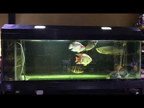 ให้อาหารปลามังกร ปลาเสือตอ ปลานกแก้วซานต้า
