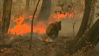 Woman risks her life to save koala in Australia wildfires