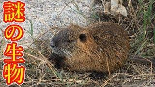 【カピバラ ヌートリア】バス釣りに行ったら謎の野生動物に出会った【淀川】