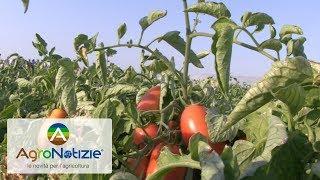Pomodoro da industria, il crop enhancement