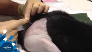 Cat Epidural