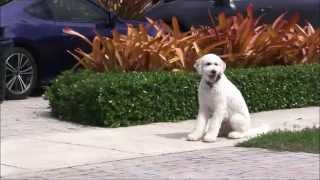 Aggressive Goldendoodle Becomes Extremely Loving And Obedient!