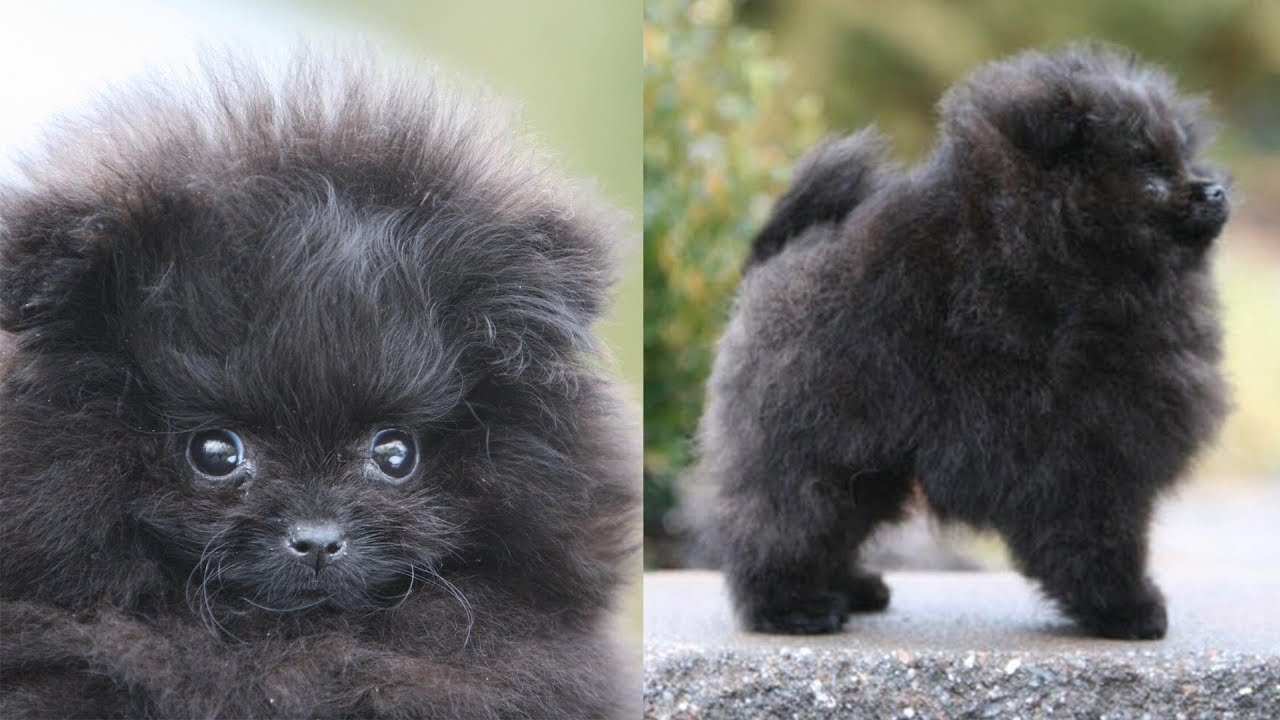 Picking Up My New Pomeranian Puppy Meet Treacle Black
