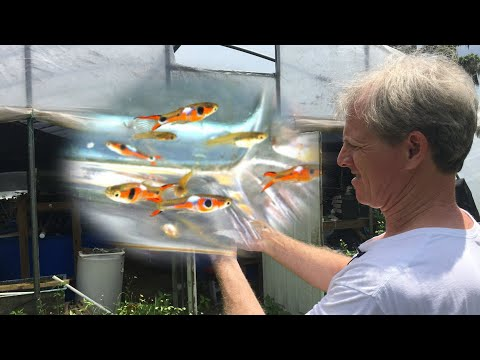 GUPPIES, ENDLERS, LIVEBEARERS... *OH MY!* - Guppy Fish Farm Tour