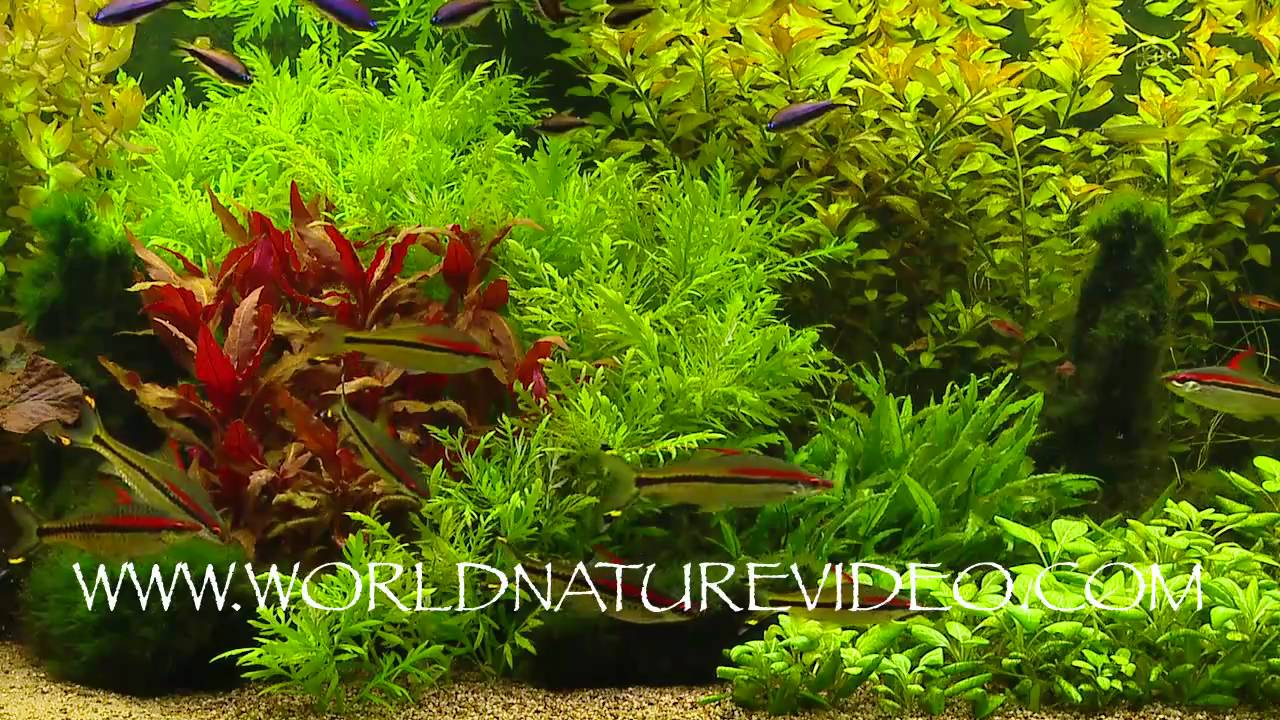 Freshwater fish tank live plants - Freshwater Aquarium With Live Plants Nature Video Stock Footage_0016