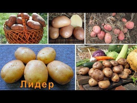 Лучшие сорта картофеля российской селекции | картофеля | картофель | семенной | семенная | картошки | картошка | посадку | клубни | посад | на