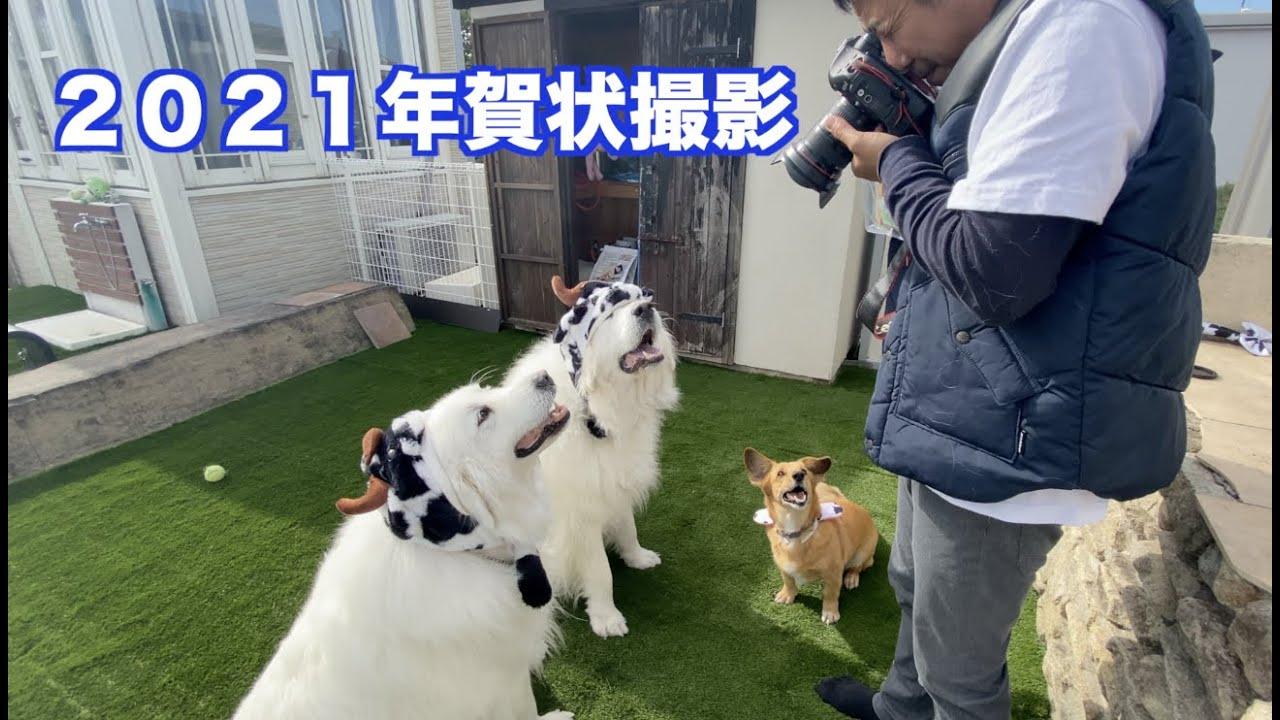 2021年賀状用の写真撮影 グレートピレニーズ MIX犬
