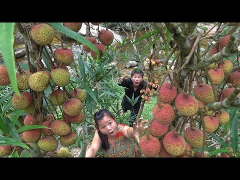 Primitive Life: Find Food Meet Litchi Fruit From Natural - Eating Delicious Litchi For Survival