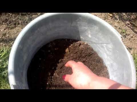 Как сеять бархатцы в открытый грунт семенами