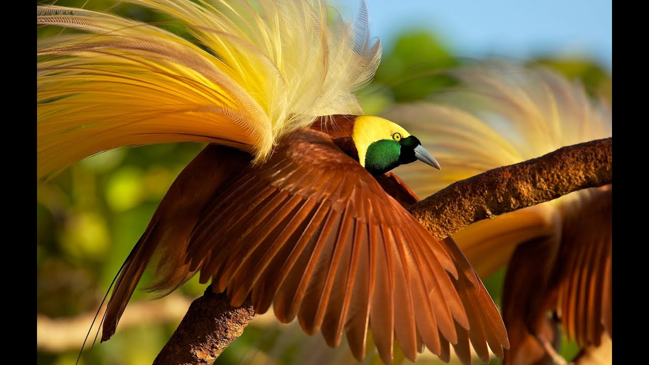 Greater Bird of Paradise   YouTube