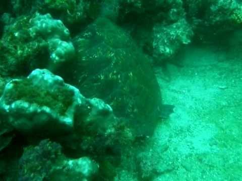Tortuga Isla De La Plata Blue Tortuga Dive Center ECUADOR (lun 14 mar 2011 21:35:29 PDT)