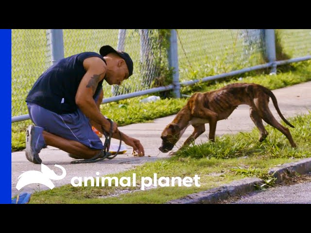 Malnourished Dog is Saved From the Streets | Pit Bulls & Parolees