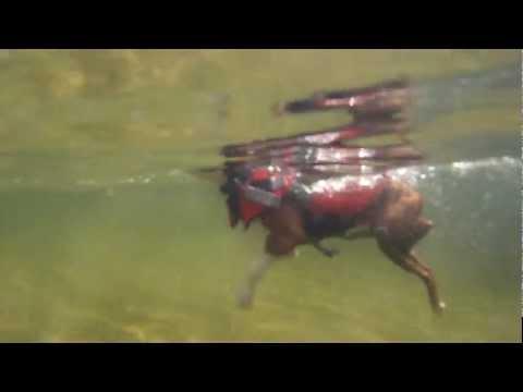 Beano the amazing swimming dog!