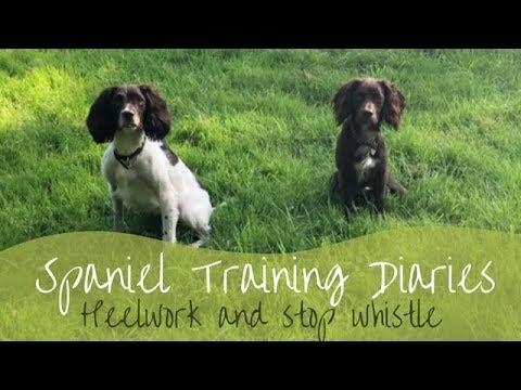Gundog Training  Heelwork and Stop Whistle
