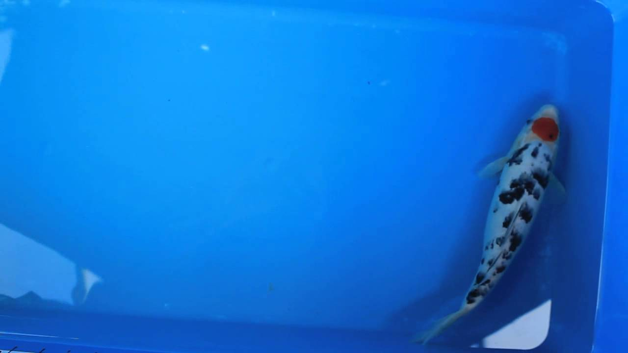 13 tancho sanke koi carp fish for sale love aquatics for Tancho koi for sale