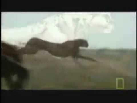 Cheetah Fastest Running Animal