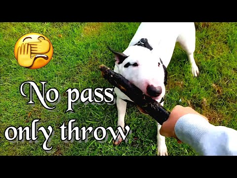Bull terrier says no pass only throw, good exercise for dogs.