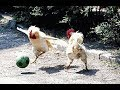 Why did the Roosters Cross the Road?