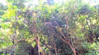 Достопримечательности Гоа. Дудхсагар. Священный водопад(Видео священного водопада Дудхсагар в Гоа. Об экскурсиях по Индии можно почитать здесь goafly.com.ua., 2013-08-20T11:32:36.000Z)