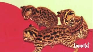 Котята азиатской леопардовой кошки в наличии.