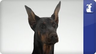 Doglopedia - Doberman Pinscher