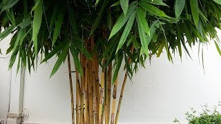 Bambusa vulgaris _ yellow bamboo plant  - the common bamboo - Bambu ampel