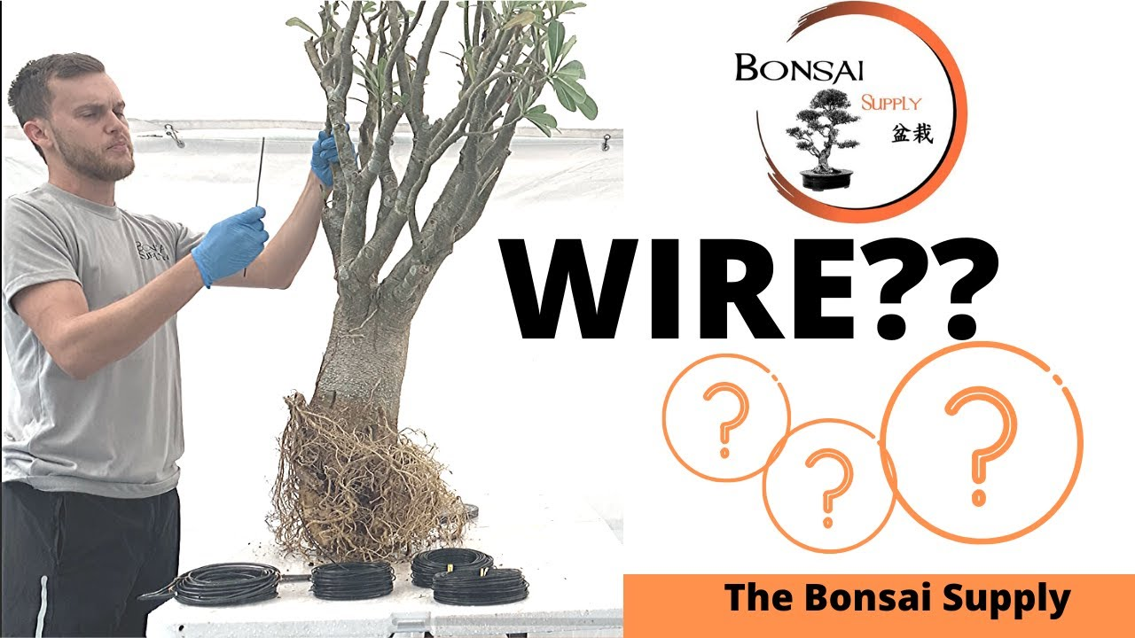 How To Choose The Right Size Of Wire For Your Bonsai Adenium Yamadori Youtube