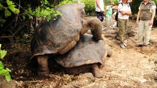 Giant Tortoise in Action