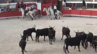 désembarquement dans les arenes des 30 taureaux manade aubanel