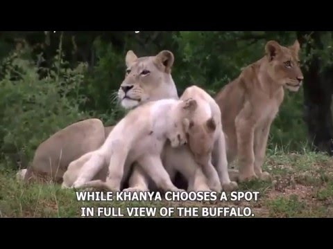 Wild Life Animals - White Lions Royal Family - National Geographic Animals - the white lions