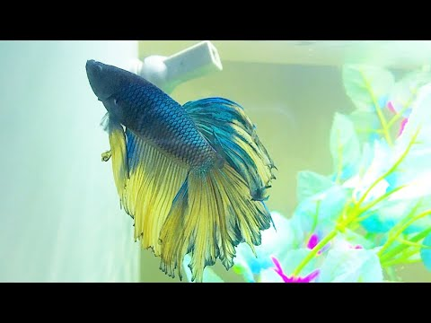 Is My BETTA FISH PREGNANT?!