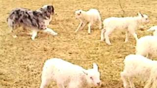 Our blue boy taking out the lambs 2/2