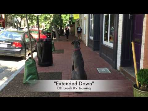 Dog Aggressive Great Dane After Video! Great Dane Training in Northern Virginia!