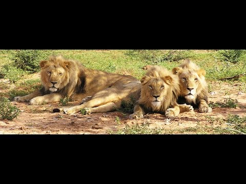 Lion at Sasan Gir...Gujrat