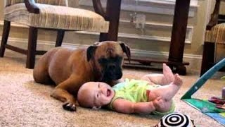 Try Not To Laugh: Baby Laughing At Boxer Dogs - Funny Dog and Baby Videos
