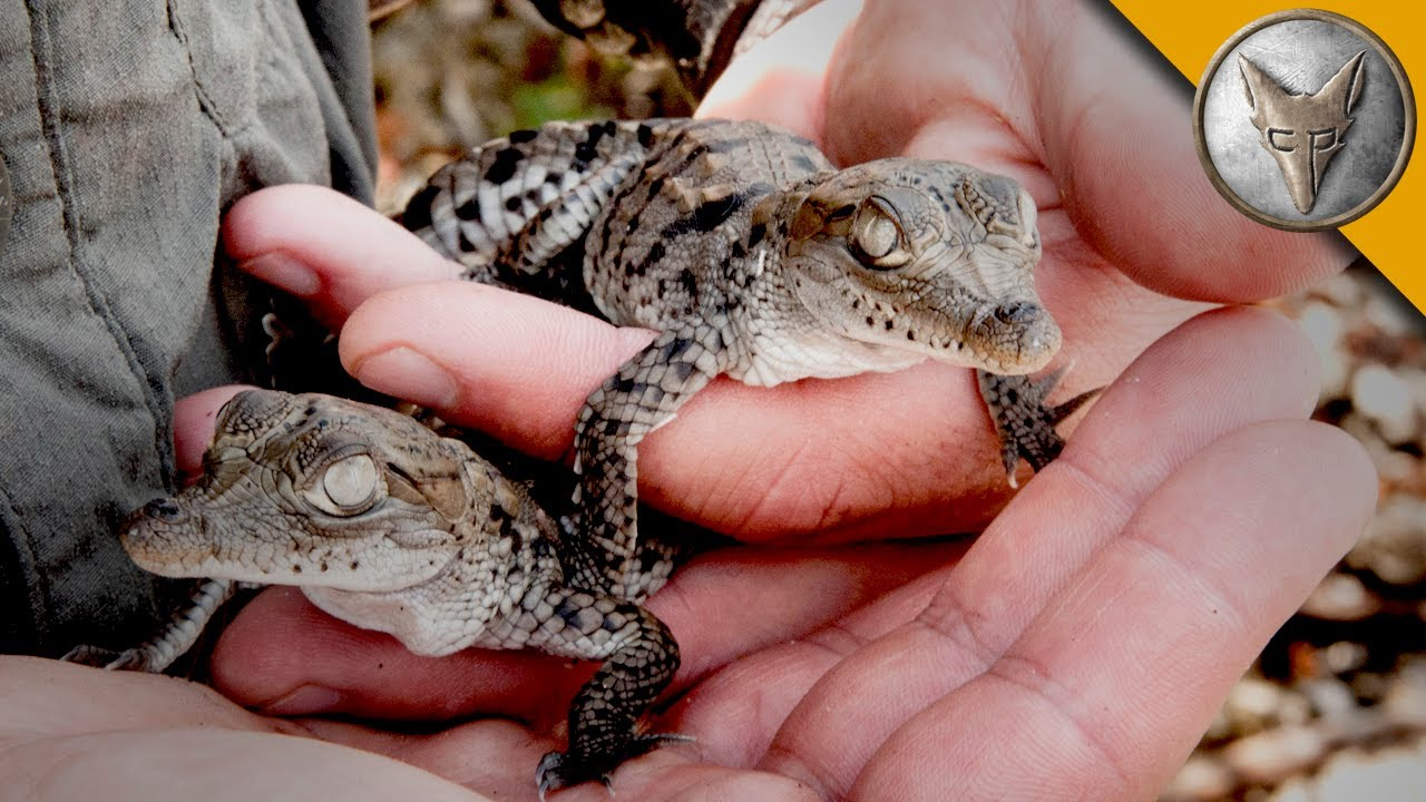 a nest full of baby crocodiles youtube
