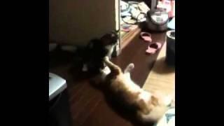 ネコ同士がケンカしてるのか してないのか分からないですね。