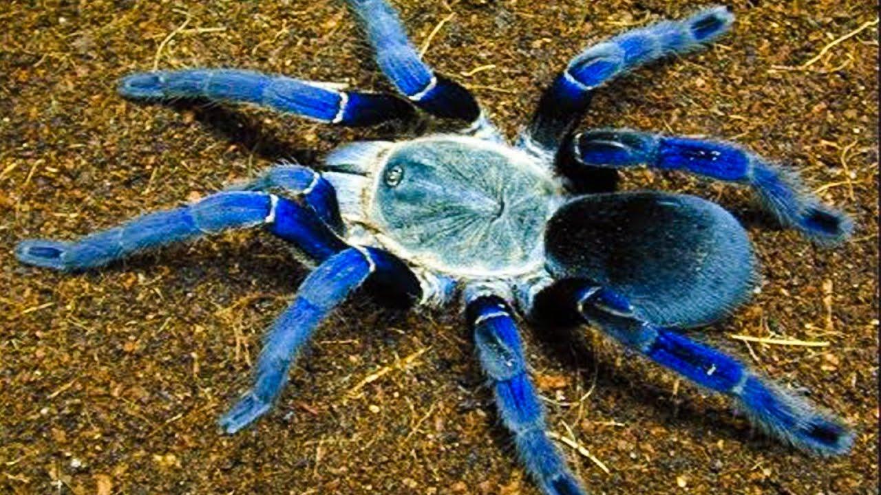 Download Top 10 Most Venomous Spiders