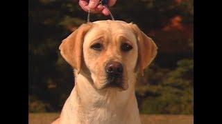 Labrador Retriever  AKC Dog breed series