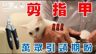 【豆漿 - SoybeanMilk】脾氣好的貓更難剪指甲!? 原因看了就知道