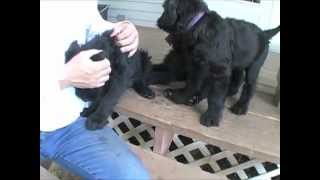 Natural Giant Schnauzer Puppies - Real Rambunctiousness