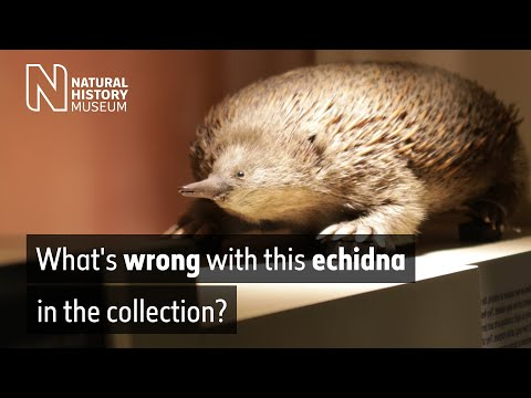 What's wrong with this echidna in the collection? | Natural History Museum