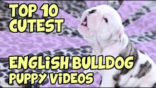 Top 10 Cutest English Bulldog Puppy Videos