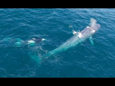 5/18 Drone: Killer Whales Harass a Blue Whale in Monterey Bay, California