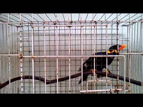 Burung Tiong Mas HD