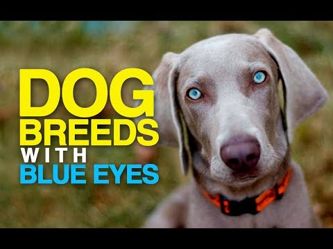 9 Dog Breeds with BLUE EYES