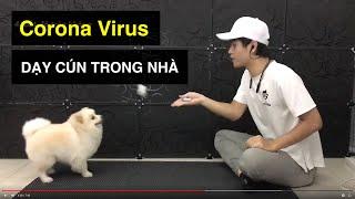 Corona thì dạy cún điều gì? Hoạt động tại nhà | Cách huấn luyện chó cơ bản BoṡṡDog | D๐g training
